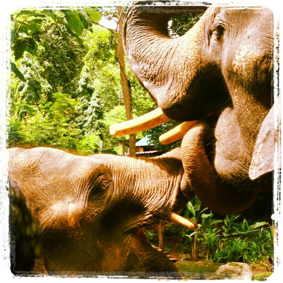olifant chiang mai